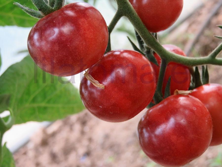 Tomate 'Glossy Rose Blue' Saatgut
