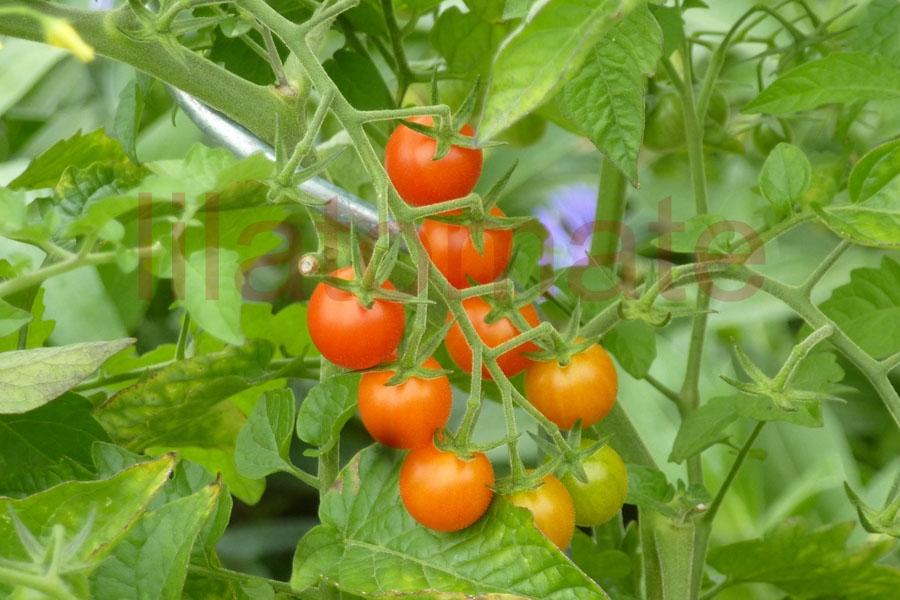 Tomate 'Kanaan Wildtomate' Saatgut