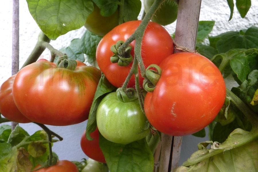 Tomate 'Eros' Saatgut