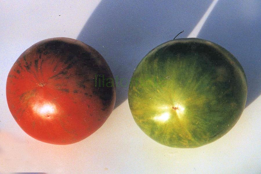 Tomate 'Grünes Zebra'  Saatgut ('Green Zebra')
