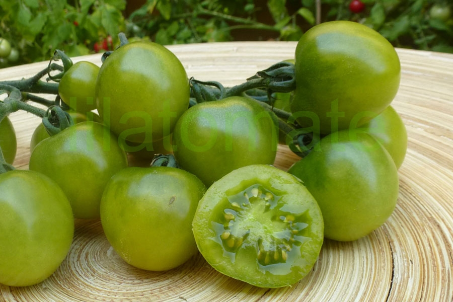 Tomate 'Green Doc' Saatgut