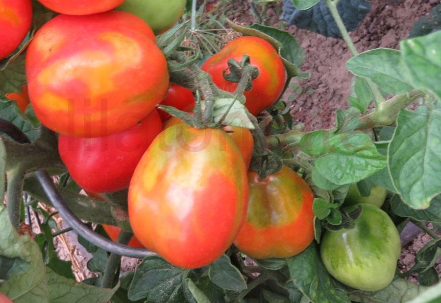 Tomate 'Apullien' Saatgut