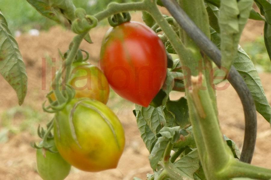 Tomate 'Maiglöckchen' Saatgut