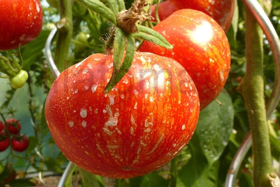 Tomate 'Feuerwerk' Saatgut
