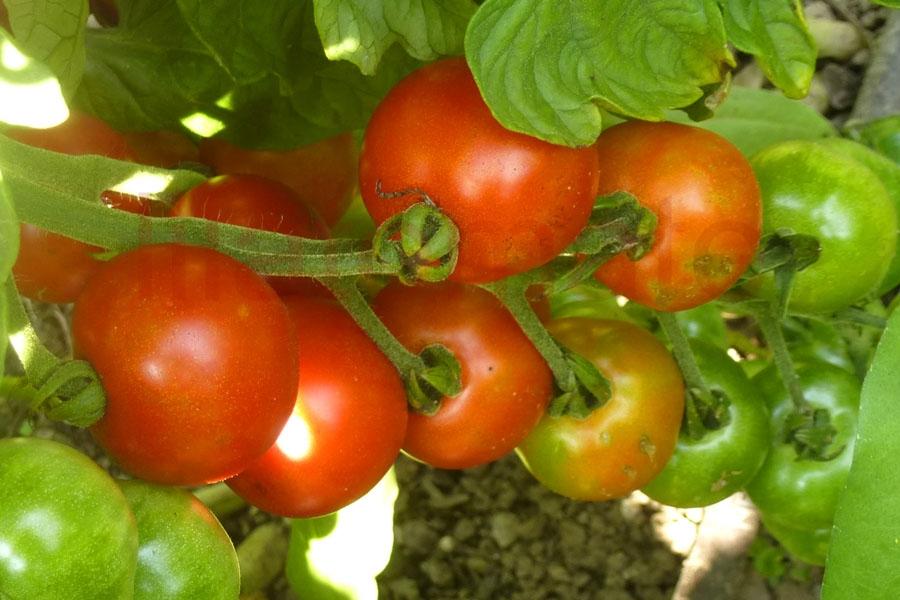 Tomate 'Freude' Saatgut
