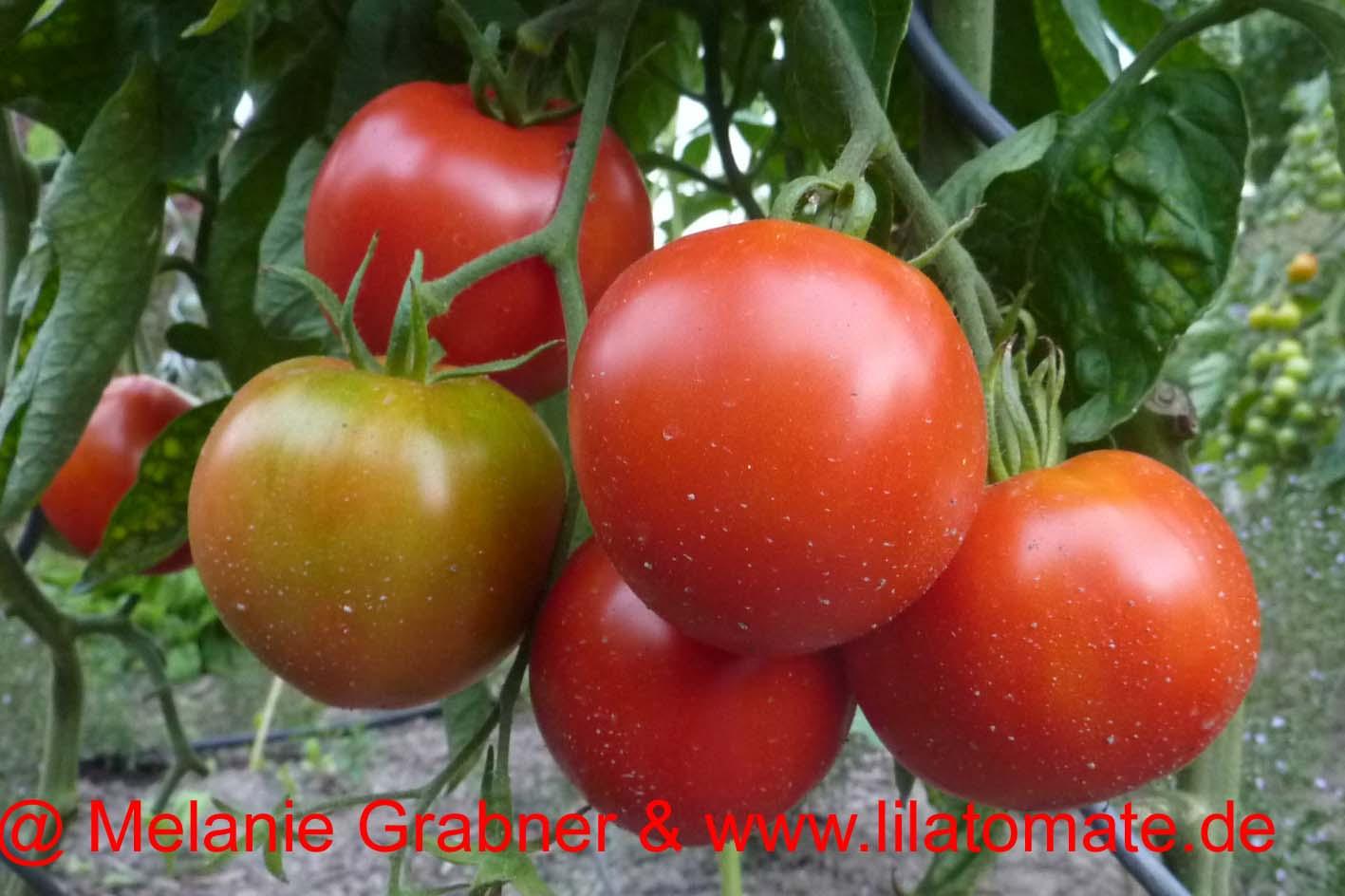 Tomate 'Handschuhsheimer Feldtomate' Saatgut