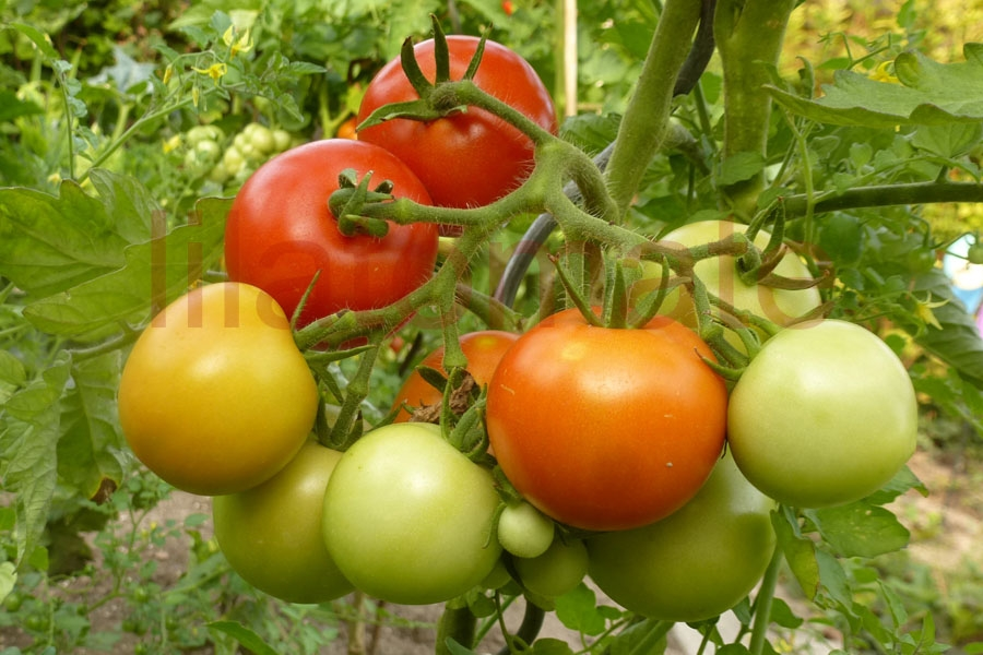 Tomate 'Harzfeuerchen (Arbeitstitel)' Saatgut