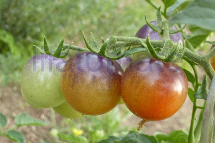 Tomate 'Blue Pitts' Saatgut