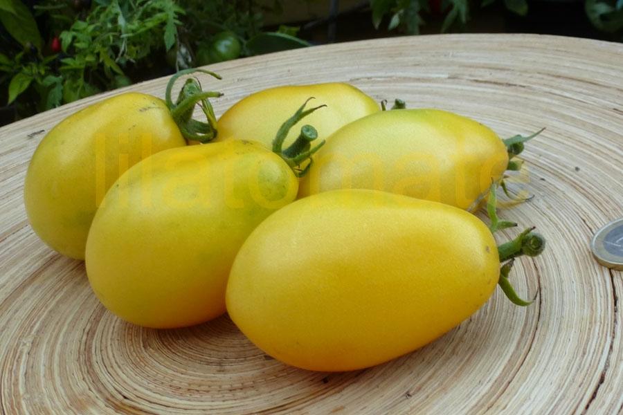 Tomate 'Old Ivory Egg' Saatgut