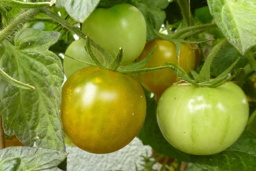 Tomate 'Lime Green Salad' Saatgut