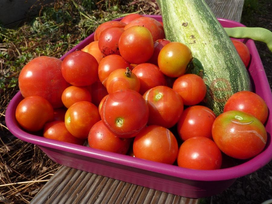 Tomate 'Subarctic Plenty' Saatgut
