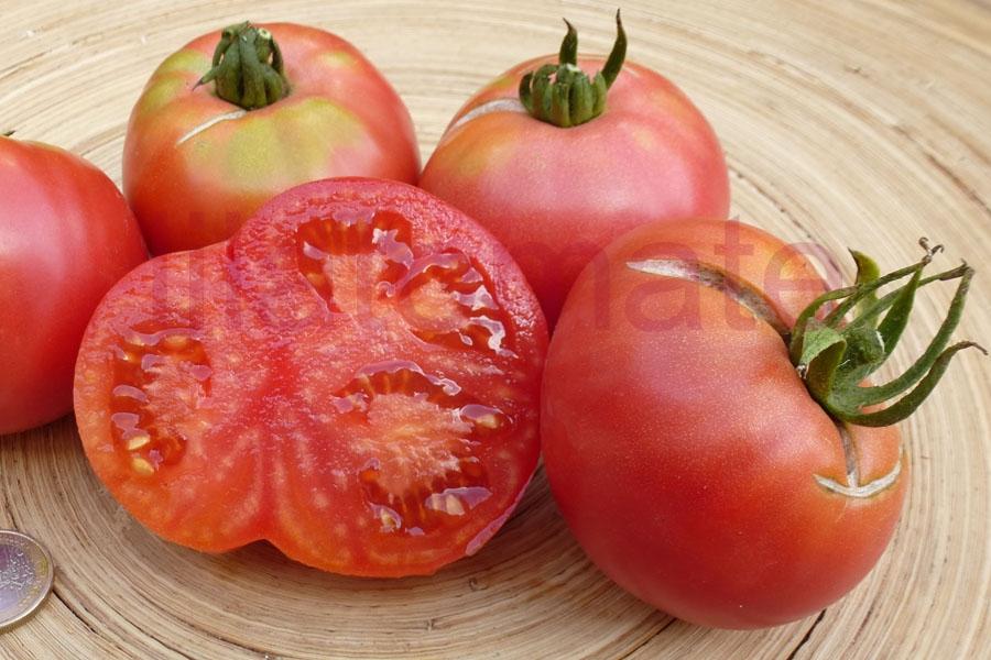 Tomate 'Buschtomate, rosa Fleisch' (Arbeitstitel) Saatgut