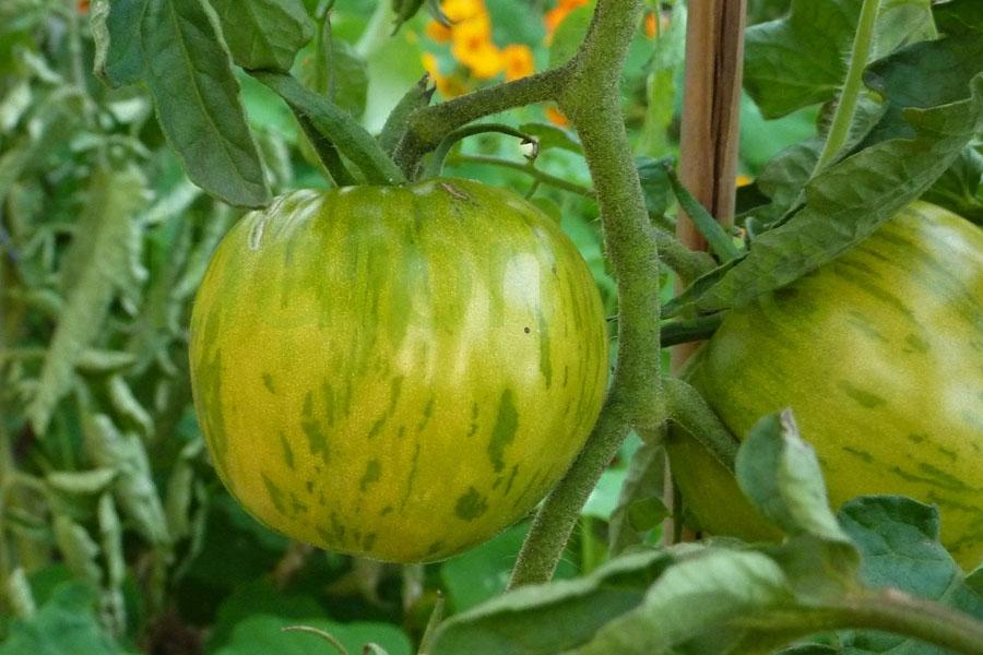Tomate 'Grün gelb gestreift flachrund' Arbeitstitel Saatgut