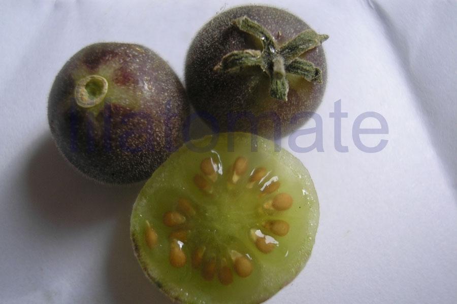 Tomate 'Blaue Wildtomate' Saatgut