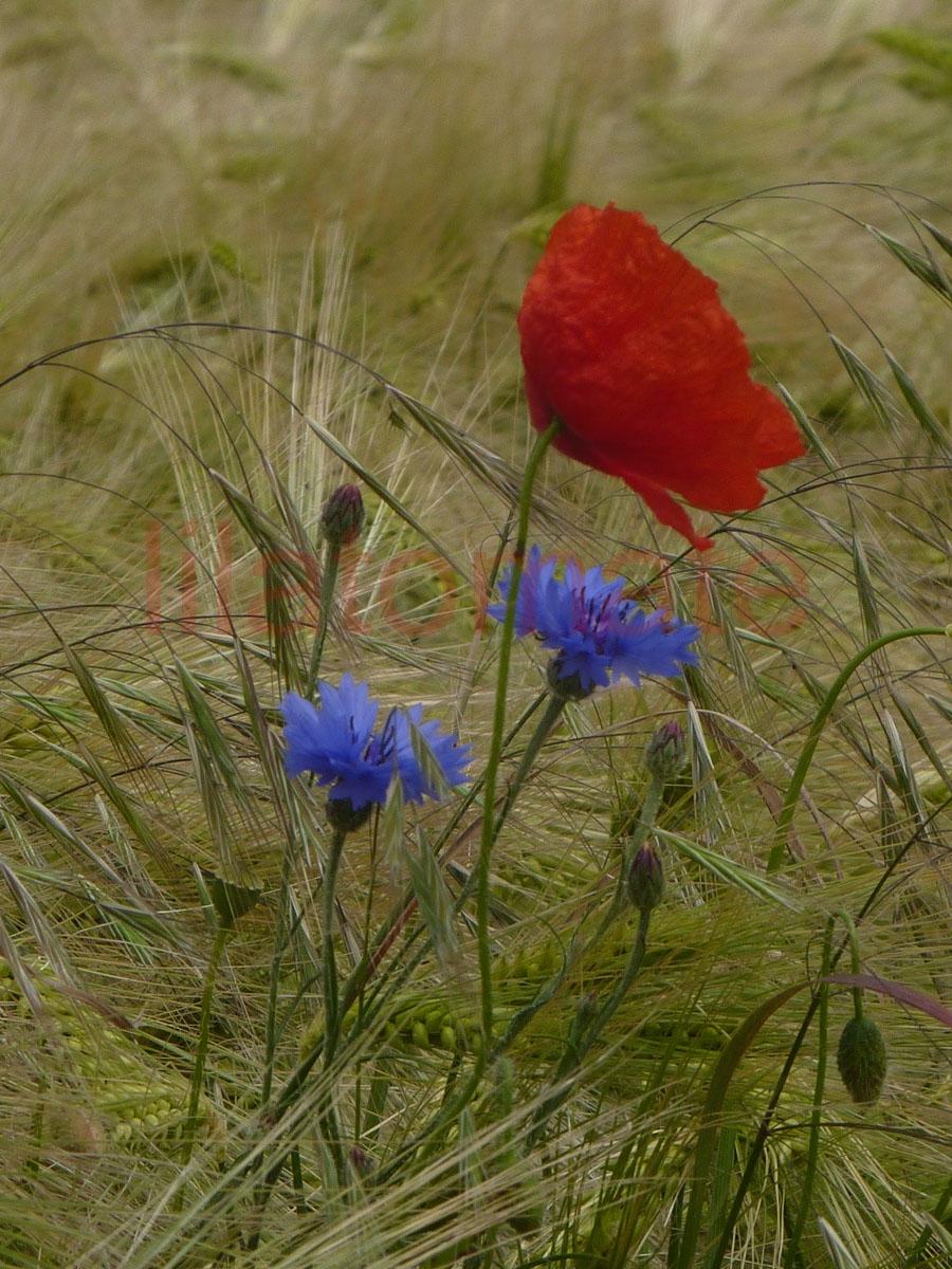 Blume 'Klatschmohn' Saatgut