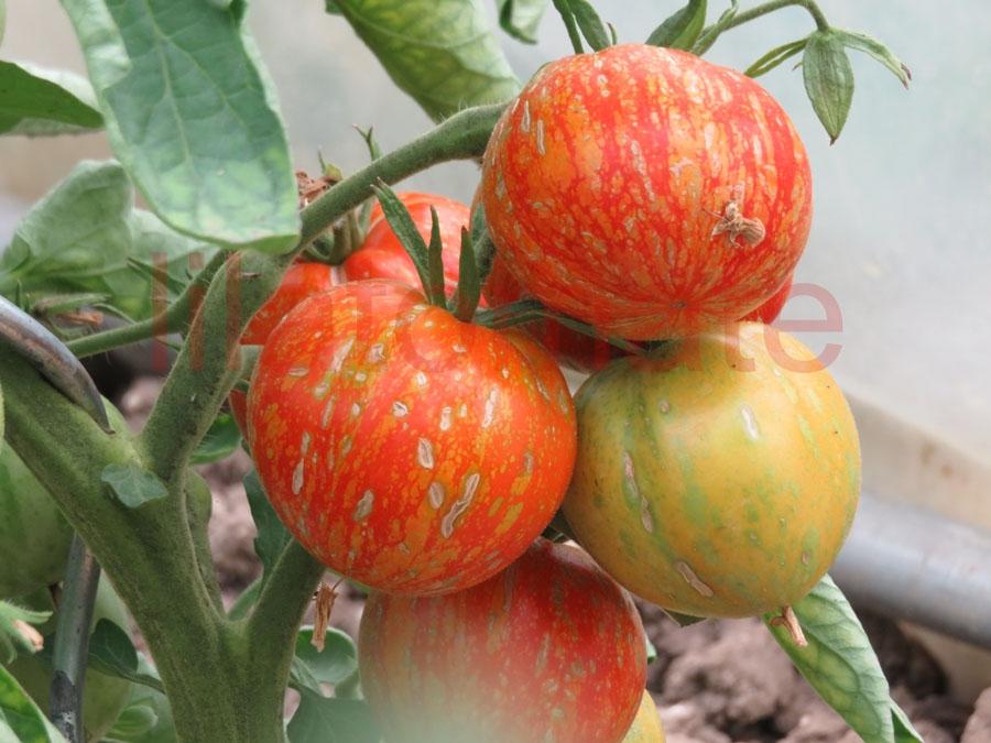 Tomate 'Scabitha' Saatgut