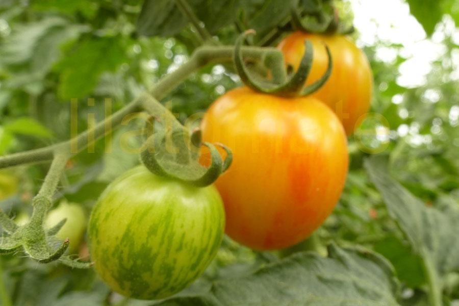 Tomate 'Golden Bumble Bee' Saatgut