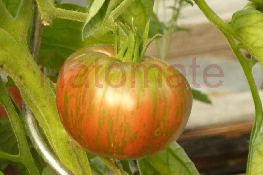Tomate 'Russischer Korsar' Saatgut