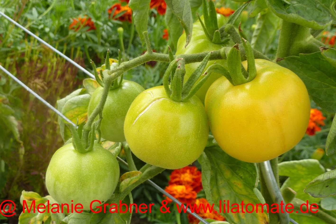Tomate 'Weißer Pfirsich' Saatgut