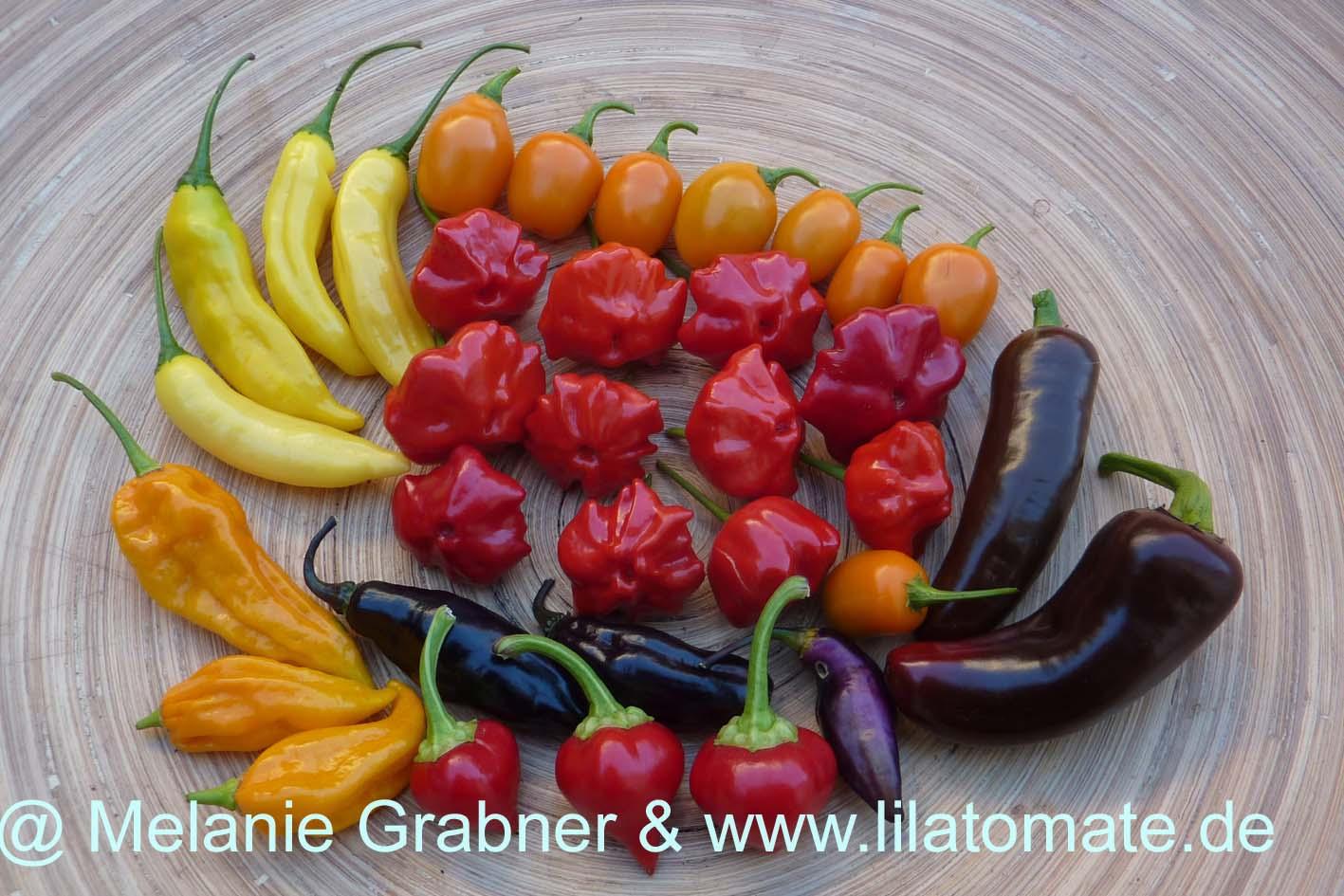 Chili Sortenmischung 'Chilimischung' Saatgut