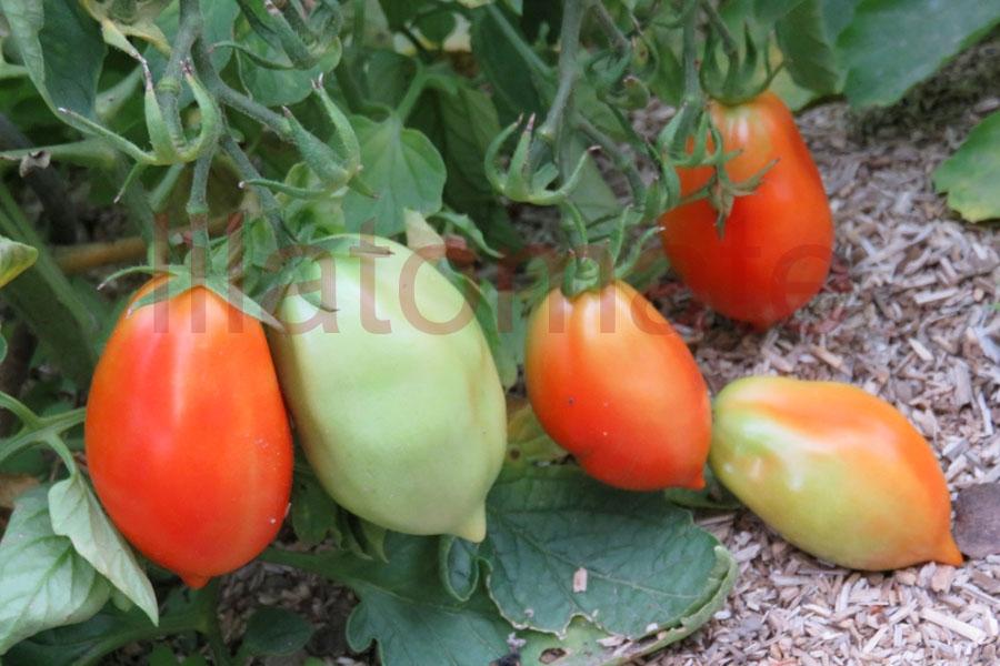 Tomate 'König Humbert, klein' (Arbeitstitel) Saatgut