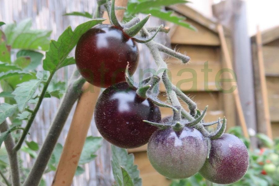 Tomate 'Blaue Datteltomate'