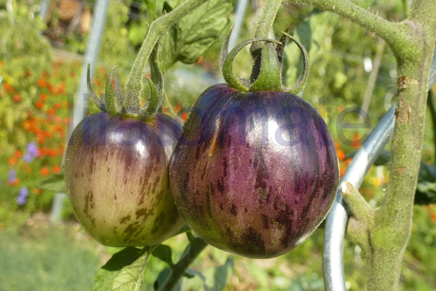 Tomate 'Blue Green Zebra' Saatgut