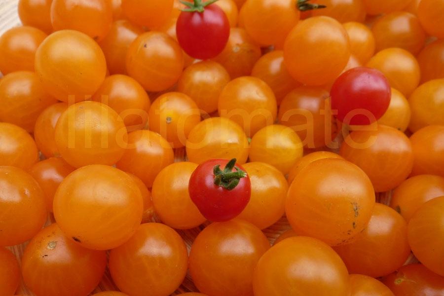 Tomate 'Johannisbeertomate, gelb' Saatgut