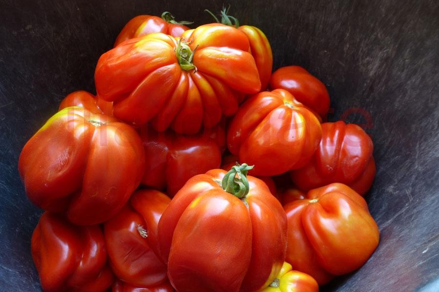 Tomate 'Paprika Italia' Saatgut
