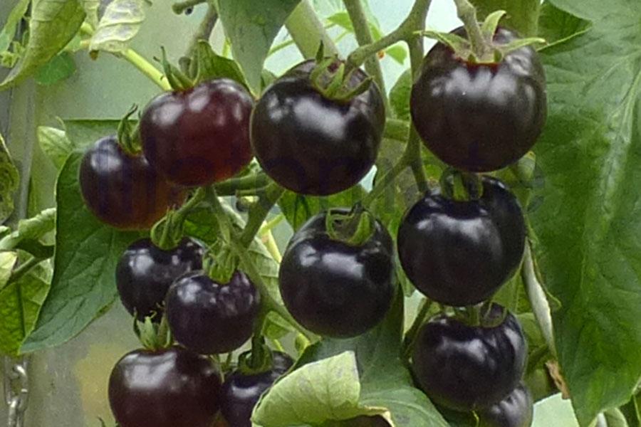 Tomate 'Indigo Rose, klein, rund', 'Indigo Rose, rund' Saatgut