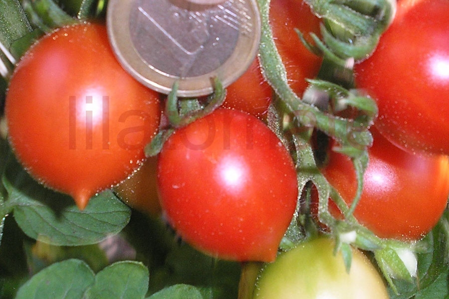 Tomate 'Principe Borghese' Saatgut