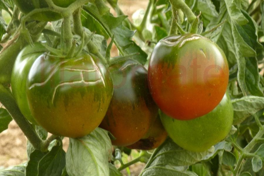 Tomate 'De Berao, schwarz' Saatgut