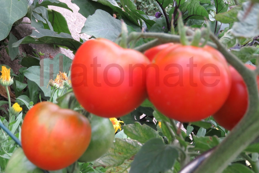 Tomate 'Lukkulus' Saatgut