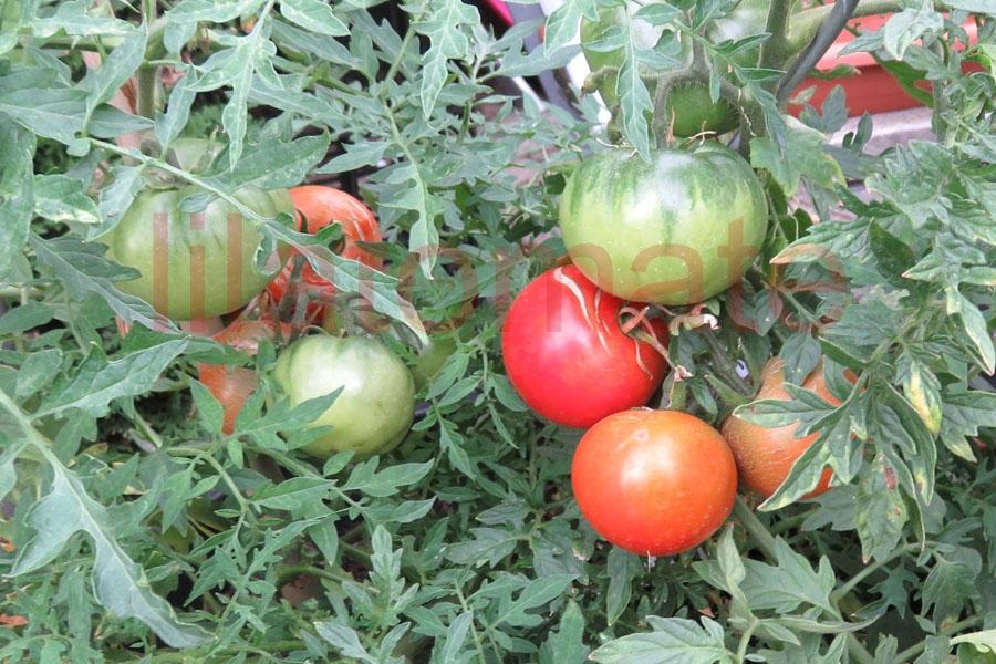 Tomate 'Silbertanne' Saatgut