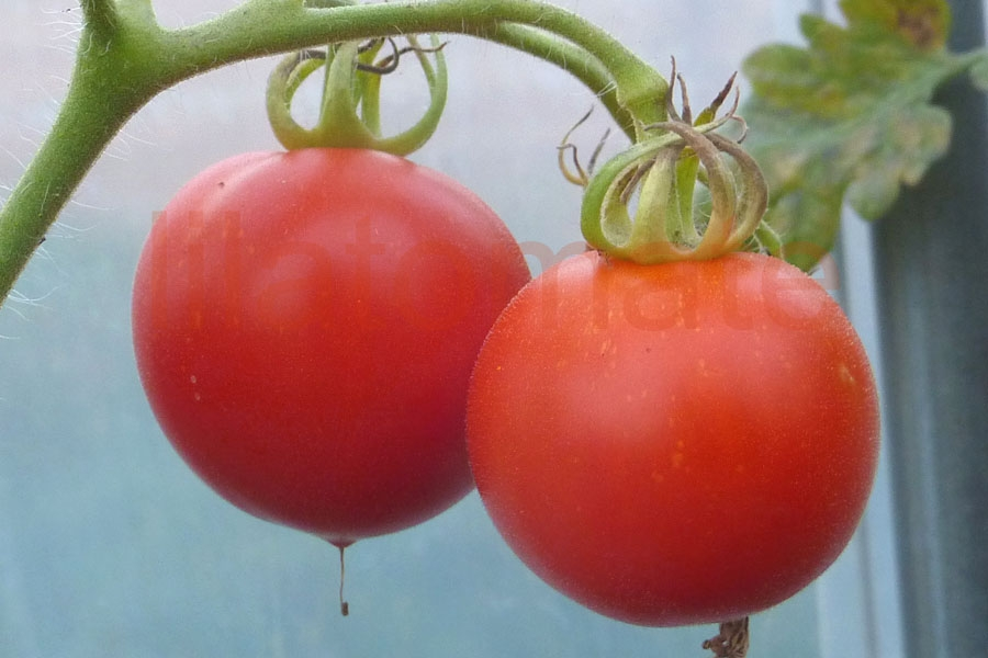 Tomate 'Pünktchen' Saatgut