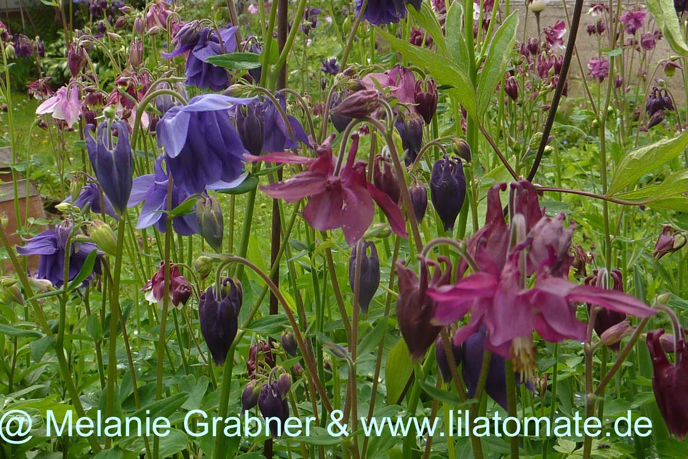 Blume 'Akelei Farbmischung'  Blume/Staude Saatgut