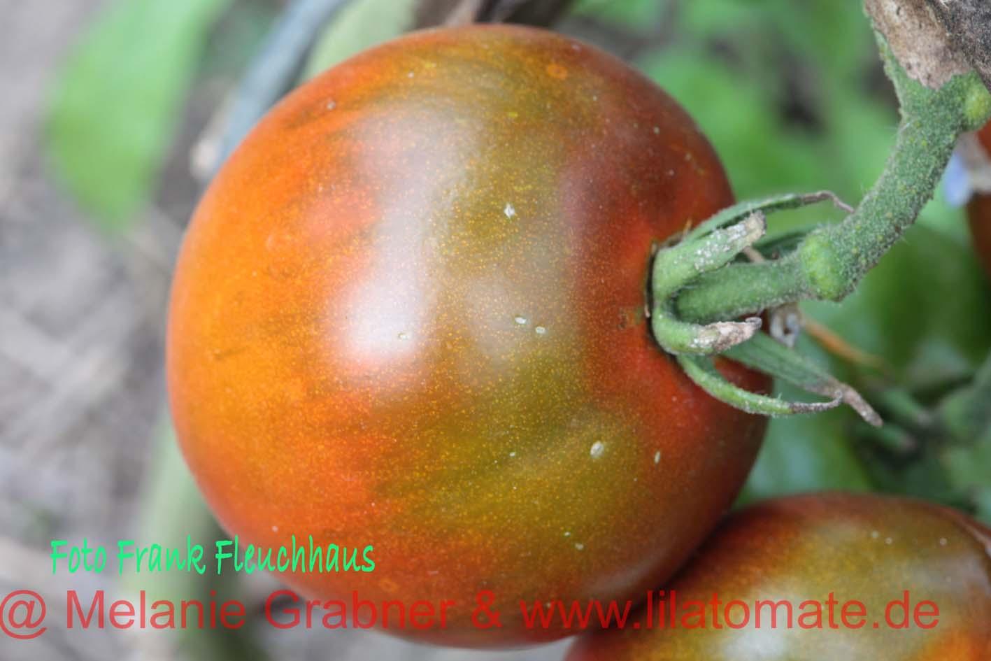 Tomate 'Oziris' Saatgut